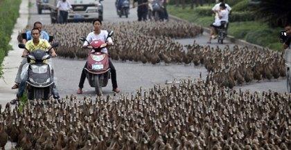 5 الاف بطة توقف حركة المرور فى الصين