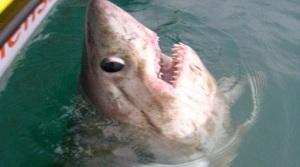 بالفيديو .. بريطانيان يصطادان أكبر سمكة قرش فى العالم