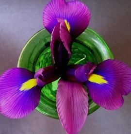 iris-flower-1